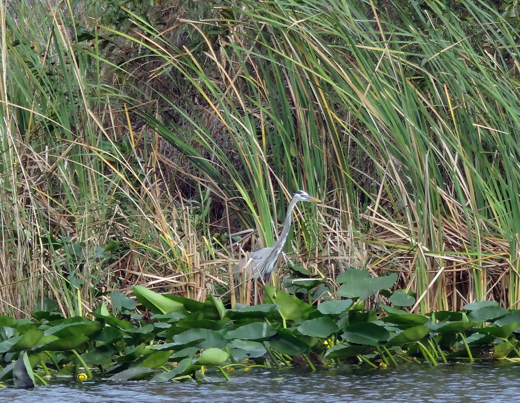 Great Blue Heron in Holiday Park