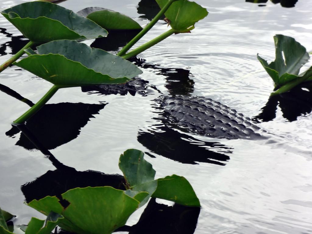 Gator Back