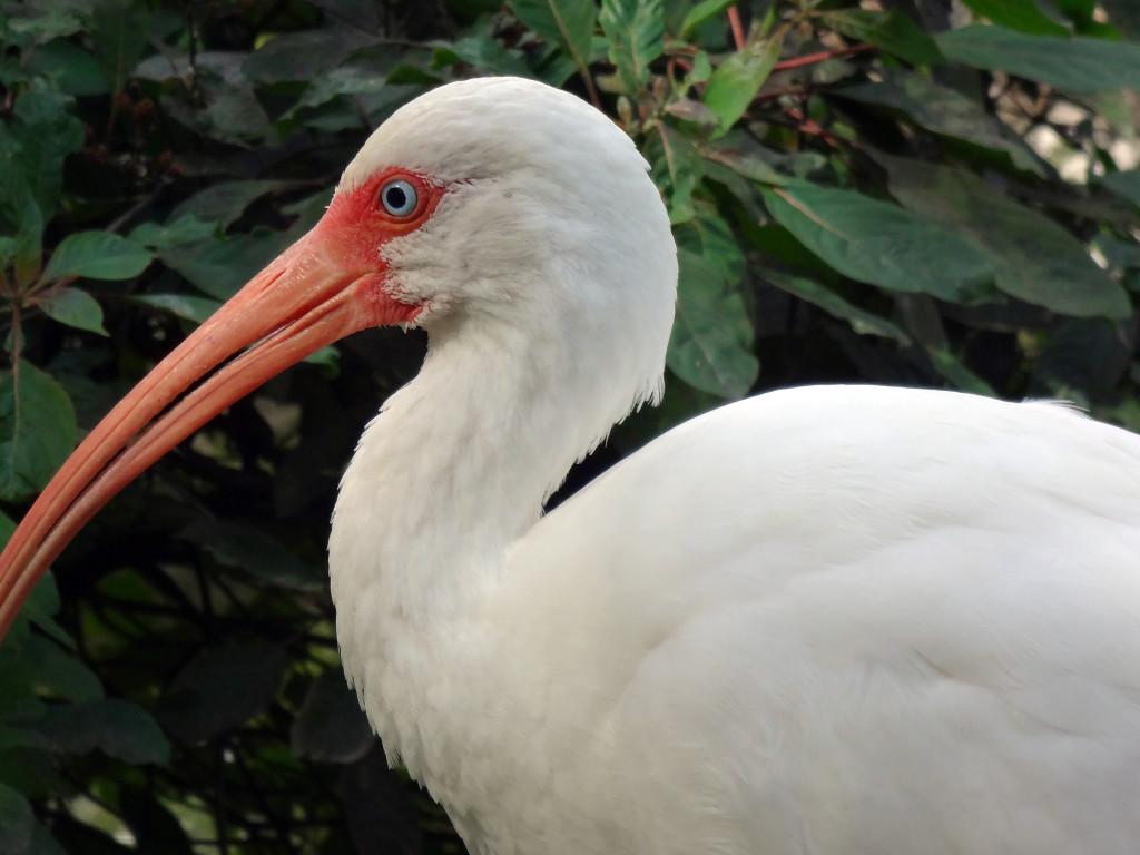 White Ibis begging