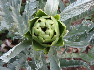 Our first Violetto artichoke!