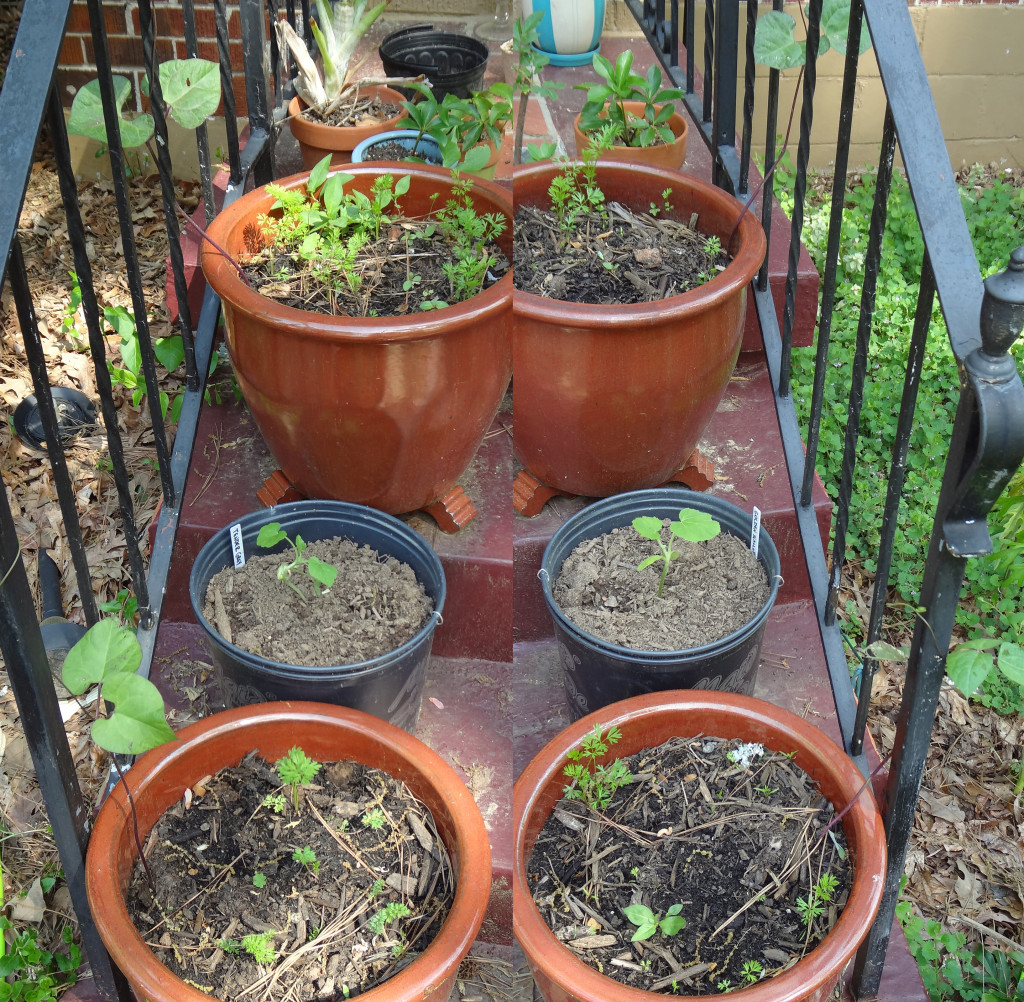 My porch setup with carrots, radishes, beans, and squashe.
