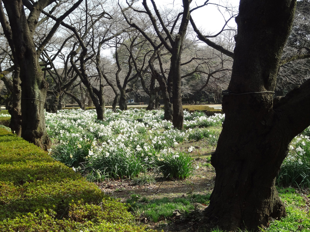 Spring flowers at Shinjuku Gyoen