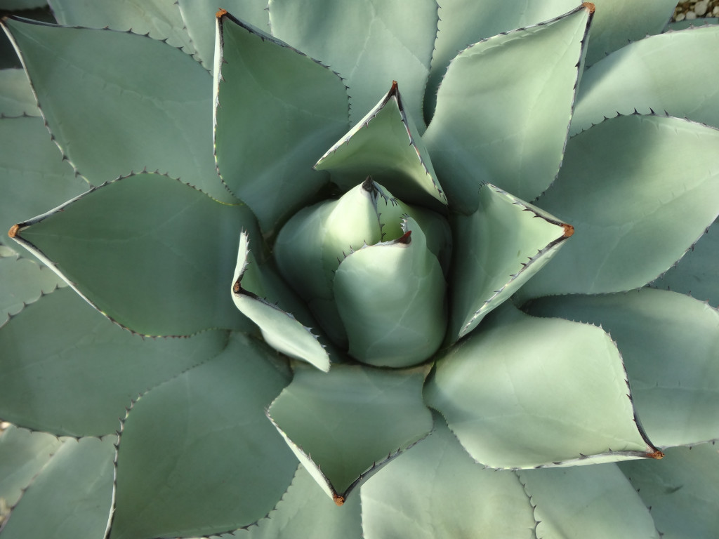 Agave In the Shinjuku Gyoen greenhouse