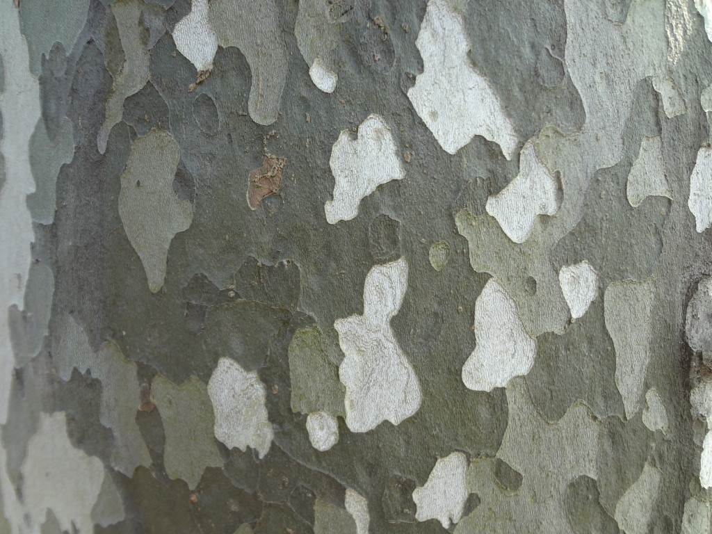 The distinctive sycamore tree bark