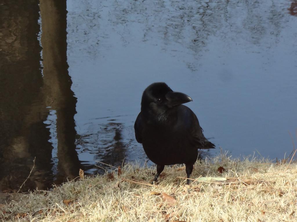 Nevermore raven