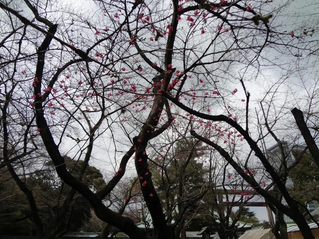 Cherry blossoms at ???? Yasukuni Jinja