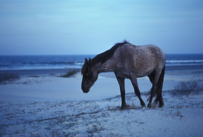 Feral Horse on Cumberland Island
