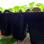 Bok choy seedlings